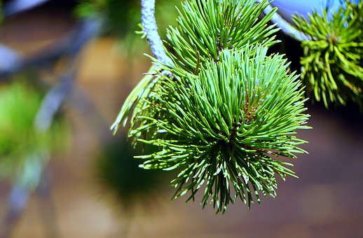 Pine, Leaves, Nature, Green, Texture, Pinnace, Branch
