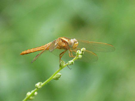 Golden Dragonfly, Sympetrum Meridionale, Stem, Greenery