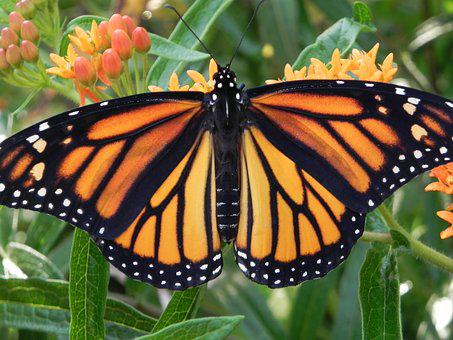 Monarch Butterfly, Orange Flower, Insect, Butterfly