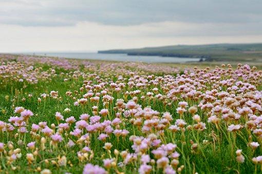 Armeria Maritima, Landscape, Pink, Cliff