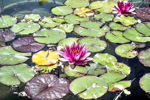 Lily, Pond, Pad, Water, Nature, Green, Flower, Plant