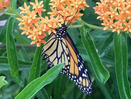 Monarch Butterfly, Milkweed, Butterfly, Insect, Nature