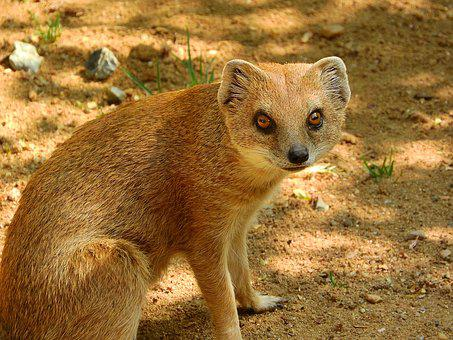 Mongoose Fox, Mongoose, Cynictis Penicillata