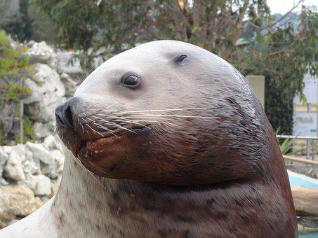 Sea Lion, Moustache, Animal, Zoo, Head, Mammal, Animals