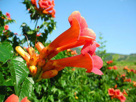 Trumpet Creeper, Camps Radic, Orange Flower, Orange