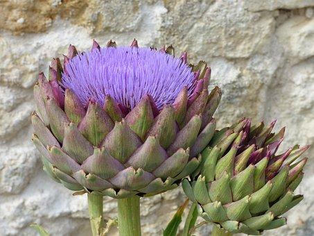 Flower, Artichoke, Flowering, Vegetable, Violet, Plant