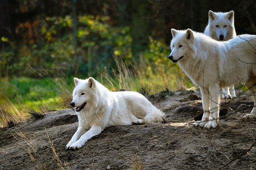 Polarwolf, Wolf, Zoo, Wilderness, White Fur, Dangerous