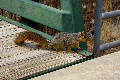 Squirrel, Fall, Wildlife, Rodent, Fluffy, Bridge
