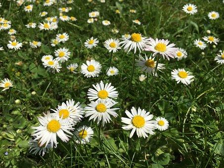 Bellis Philosophy, Daisy, Spring, Summer Meadow, Cure