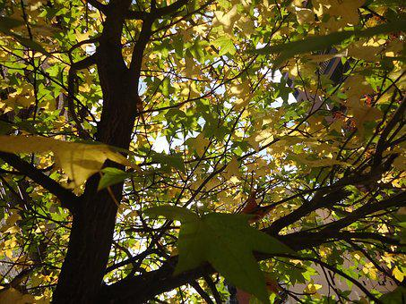 Tree, Leaves, Tomorrow, Sweetgum