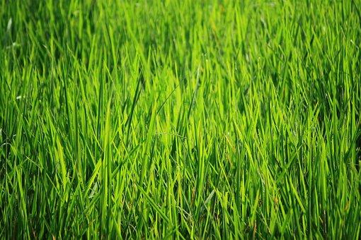 Bakground Green, Green, Green Rice Fields, View
