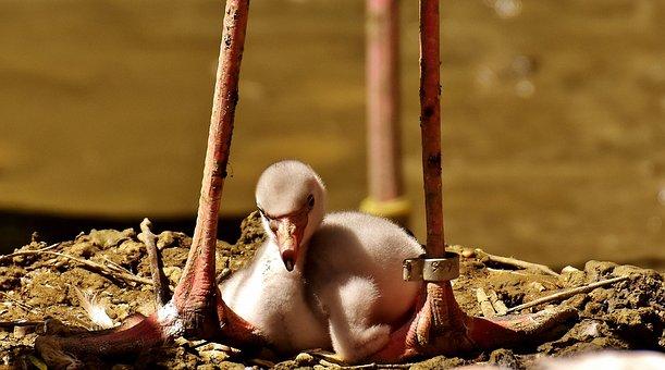 Flamingos, Chicks, Cute, Birds, Water Bird, Colorful