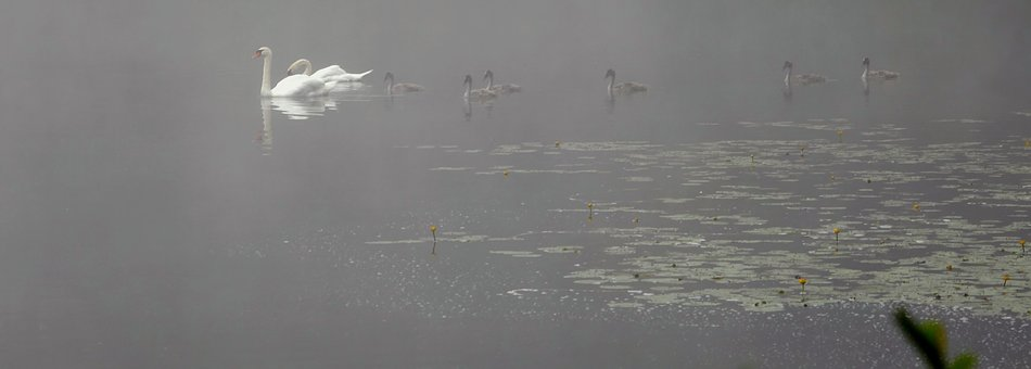 Swans, Swan Family, Mood, Morning Hour, Water Bird