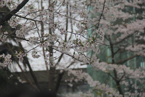 Cherry Blossom, White, Jimingsi