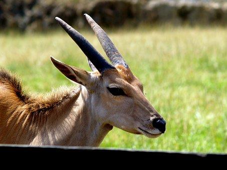 Gazelle, Horns, Wild Animal