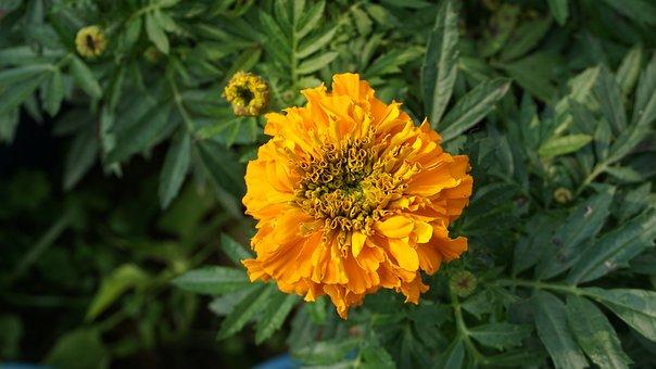 Flower, Phool, Plant, Yellow, Tesu, Color, Freshness