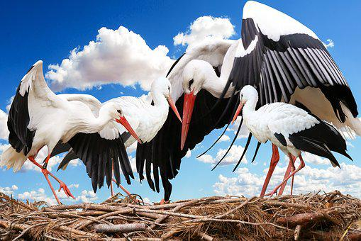 Animal, Bird, Stork, Nest, Young Stork, Young, Feather