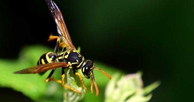Wasp, Insect, Close, Nature, Animal, Macro, Daisy