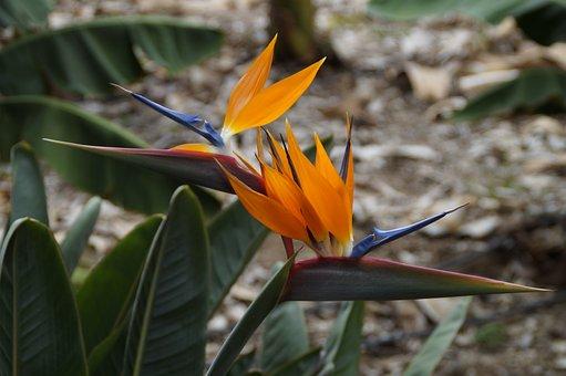 Strelizie, Parrot Flower, Bird Of Paradise Flower