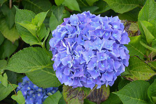 Big Blue Flower, Hydrangea, Nature, Botany, Petals