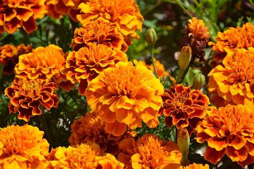 Orange Flowers, Carnations Of India, Petals, Summer