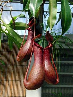 Nepenthes, Plant-pitcher, Plant, Carnivorous Plant