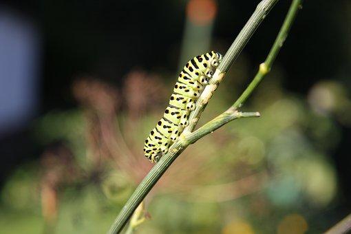 Caterpillar, Butterfly, Dovetail, Garden, Insect, Dill