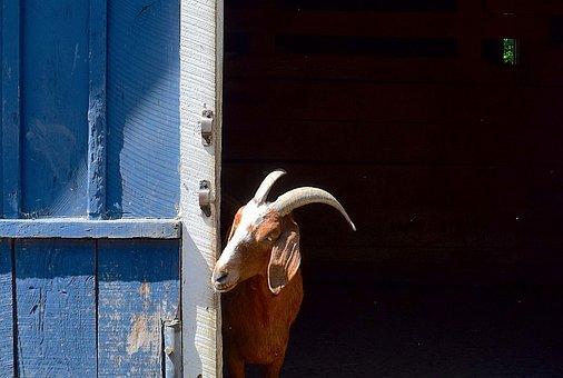 Goat, Barn, Face, Horns, Head, Animal, Nature, Brown