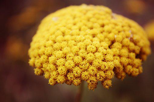 Yellow, Mustard, Flower, Autumn, Fall, Natural, Organic