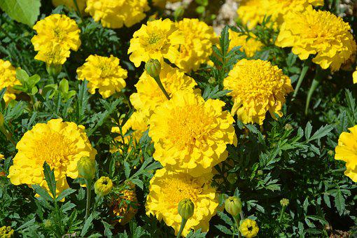 Carnations Of India, Yellow, Flowers, Nature, Summer