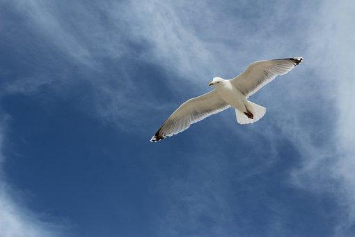 Gull, Bird, Lake, Water Bird, Animal, Water, Flying