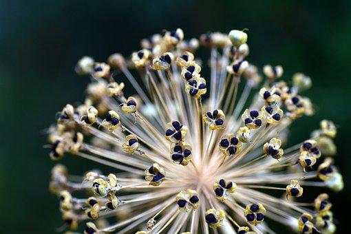 Leek, Ornamental Onion, Ball Leek, Giant Allium, Seeds
