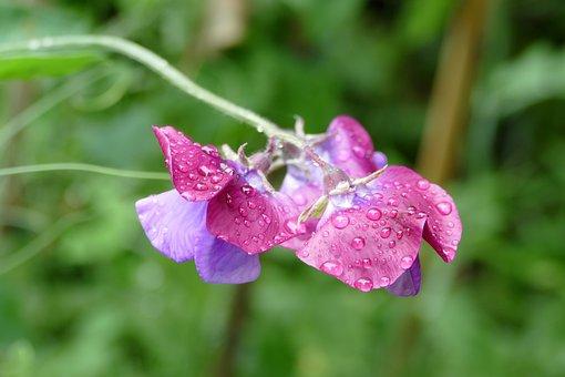 Lathyrus, Flower, Plant, Flora, Butterfly, Vlinderbloem