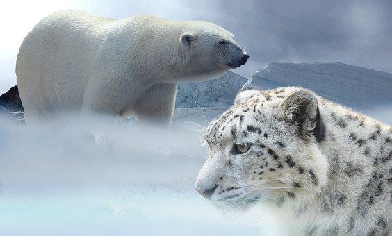 Leopard, Snow, Polar Bear, Snow Leopard, Glacier