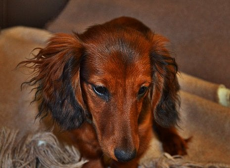 Long Hair Dachshund, Brown, View, Small Dog