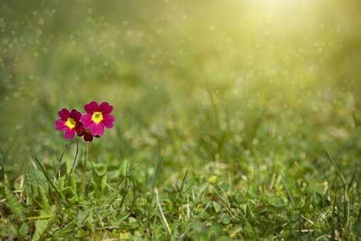Meadow, Meadow Primrose, Primrose, Nature