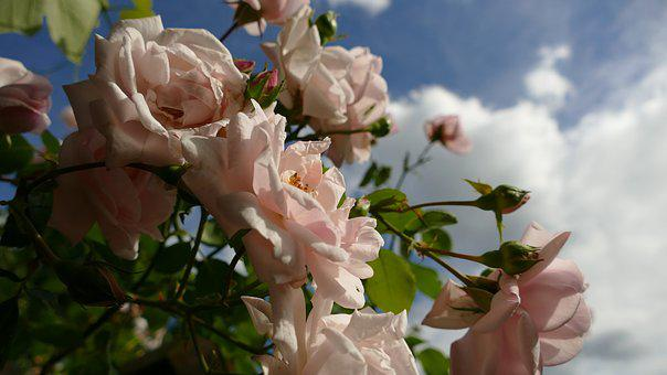 Roses, Pink Roses, Rose Bloom, Garden Roses