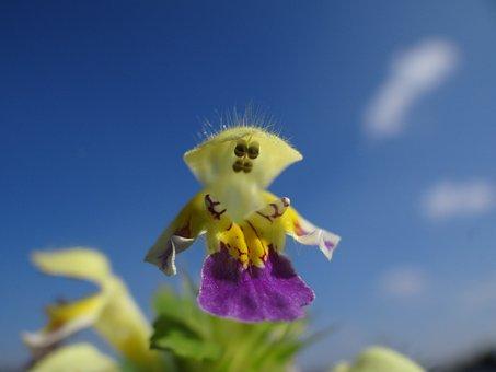 Hampnette, Lamiaceae, Yellow, Violet, Purple, Plant