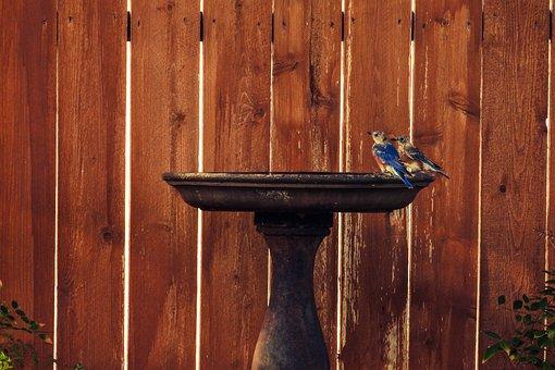 Eastern Bluebirds, Juvenile, Birdbath, Texas
