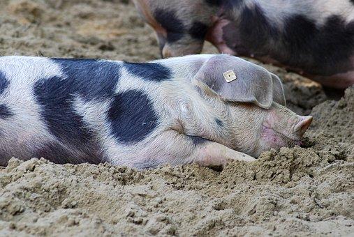 Pig, Sow, Bentheimer, Bunte Bentheimer, Agriculture