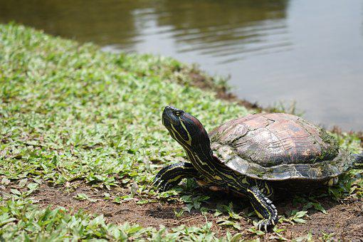 Turtle, Animal, Nature, Wild, Wildlife, Reptile, Shell