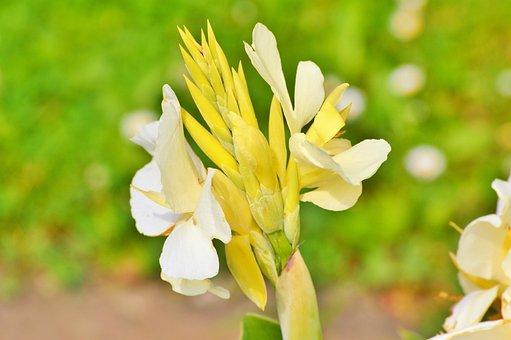 Indian Flower Tube, Australian Arrowroot