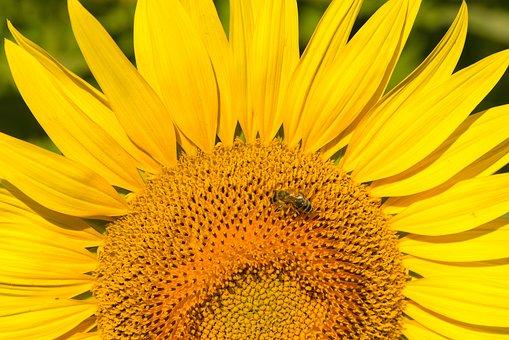 Sunflower, Flower, Bee, Yellow, Plant, Big Flower, Sun