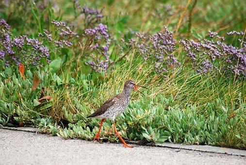 Redshank, Snipe, Bird, Birds, Coast, North Sea Coast