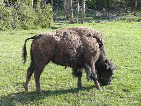 Bison, American Buffalo, Wildlife, Nature, Wild