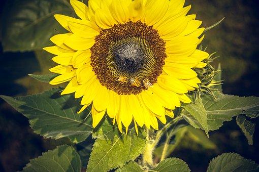 Sun Flower, Blossom, Bloom, Close, Yellow, Helianthus