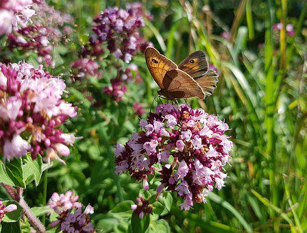 Butterfly, Butterflies, Meadow Brown, Insect, Blossom
