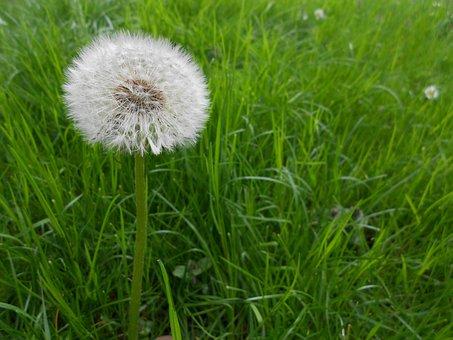 Dandelion, Flowers, Seeds, Close, Common Dandelion