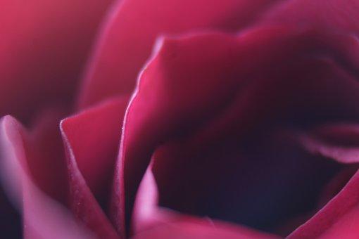 Rose, Macro, Flower, Blossom, Nature, Fresh, Floral