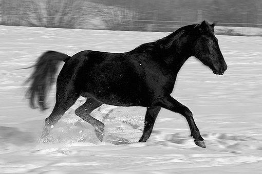 Horse, Gallop, Thoroughbred Arabian, Pasture